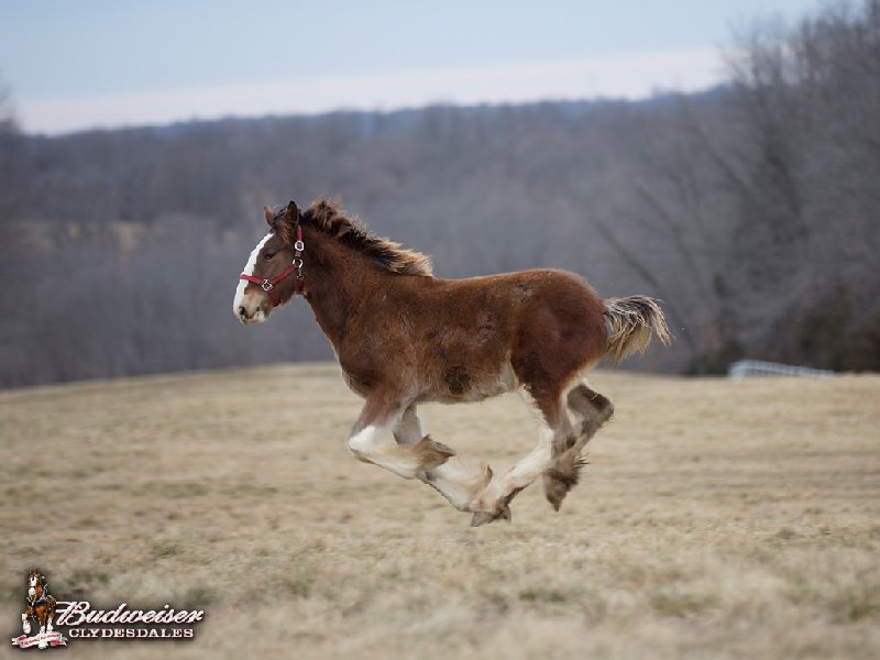 Clydesdale Galloping!